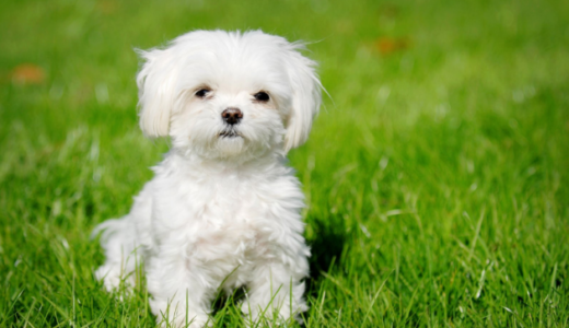 ハバニーズ|伊野尾家も飼っている珍しい犬種の歴史と特徴